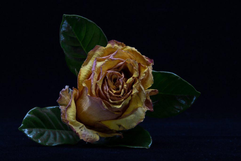 Beaten-Rose-1.28.19-1-1024x683.jpg