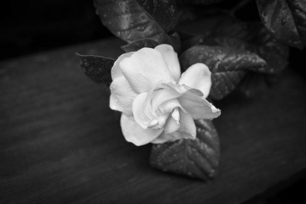 Gardenia-7.23.17-1-1024x683.jpg